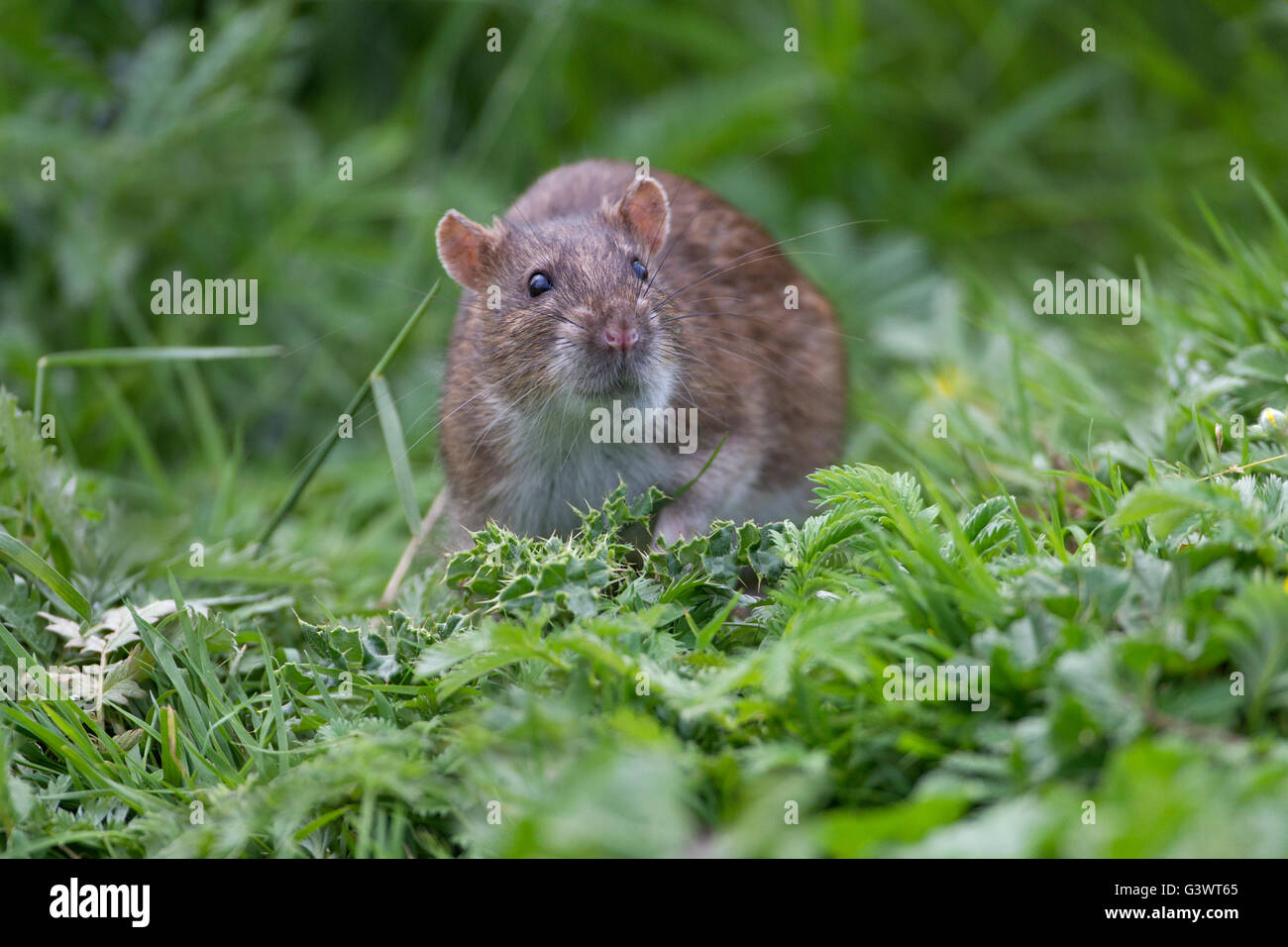 Portrait of a Brown Rat Rattus norvegicus looking from grass - Stock Image