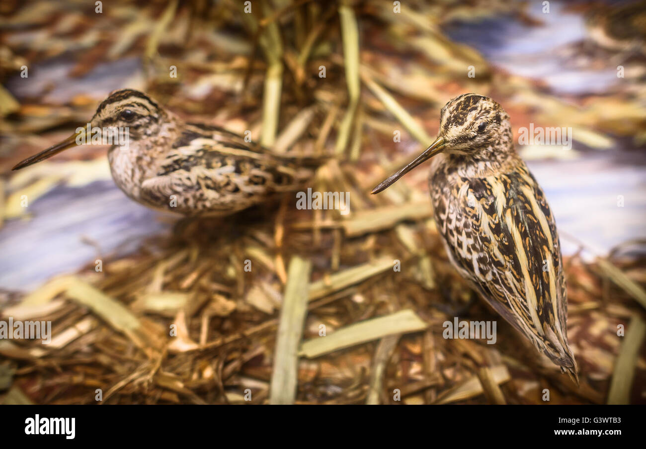Woodcock Bird Stock Photos Amp Woodcock Bird Stock Images