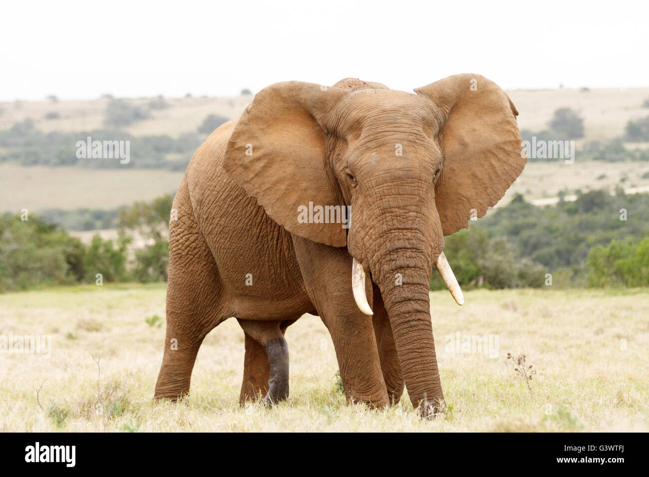One Big .. The African bush elephant is the larger of the two species of African elephant. - Stock Image