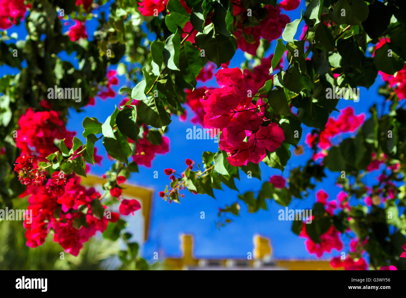 Bright red bougainvillea flowers - Stock Image