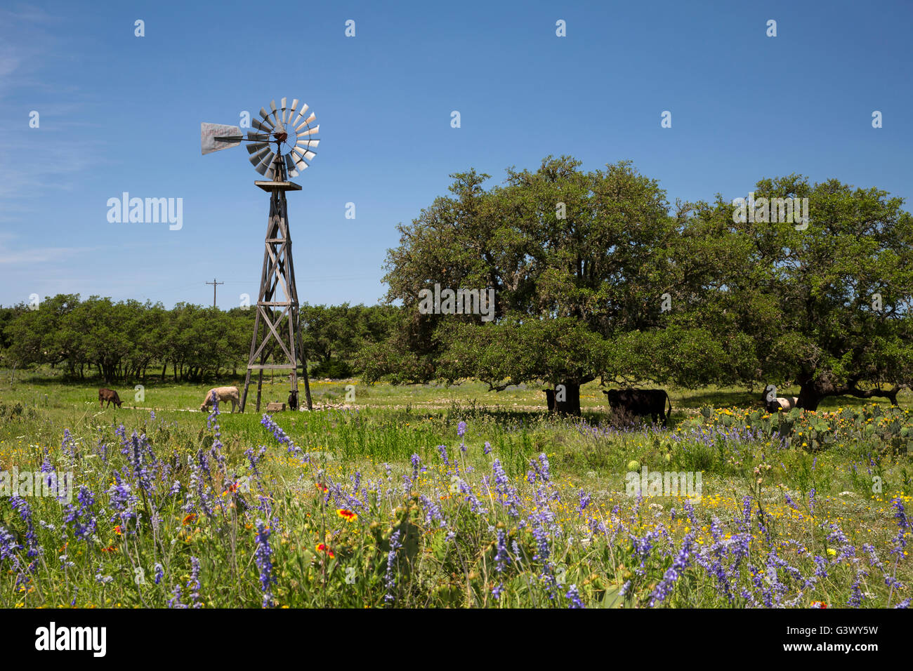 Texas ranch scene with windmill, longhorns, wildflowers, and oak trees - Stock Image