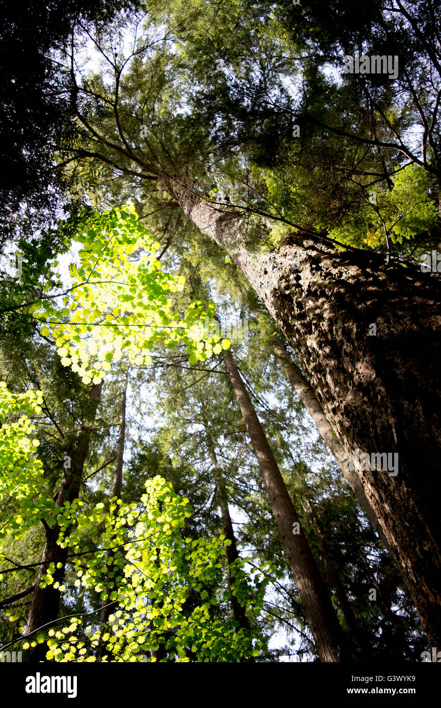 Sun shining through Douglas Fir Tree in a Rainforest - Stock Image
