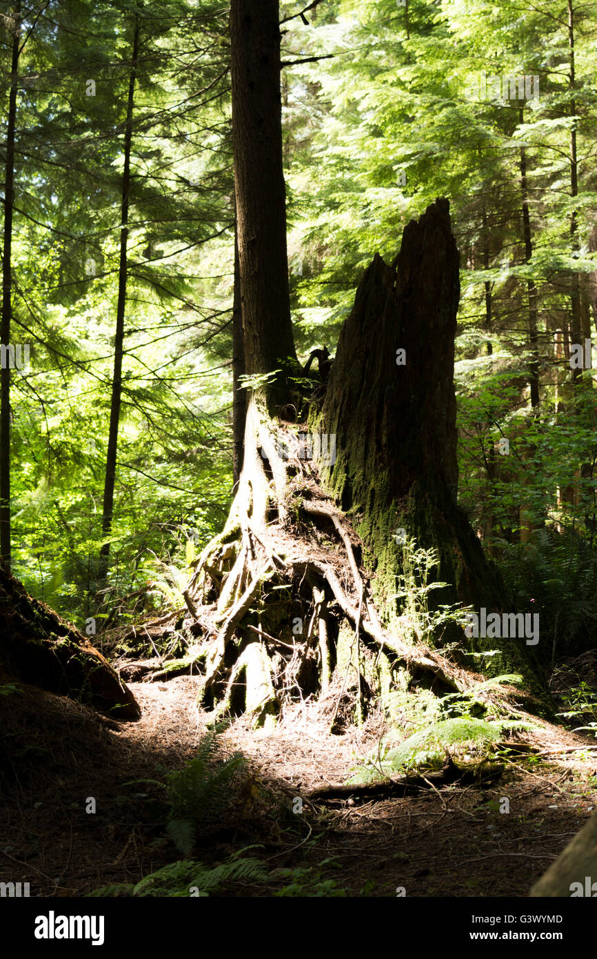 Light Shines on the Remains of a mighty Tree Trunk - Stock Image