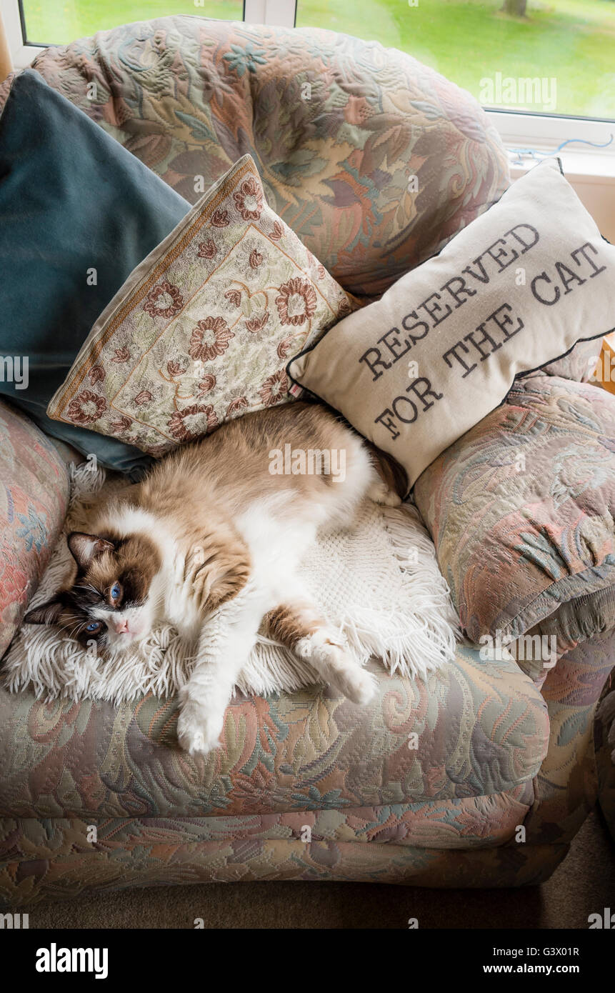 Ragdoll cat reclining on a chair amusingly given an exclusive allocation for the cat - Stock Image