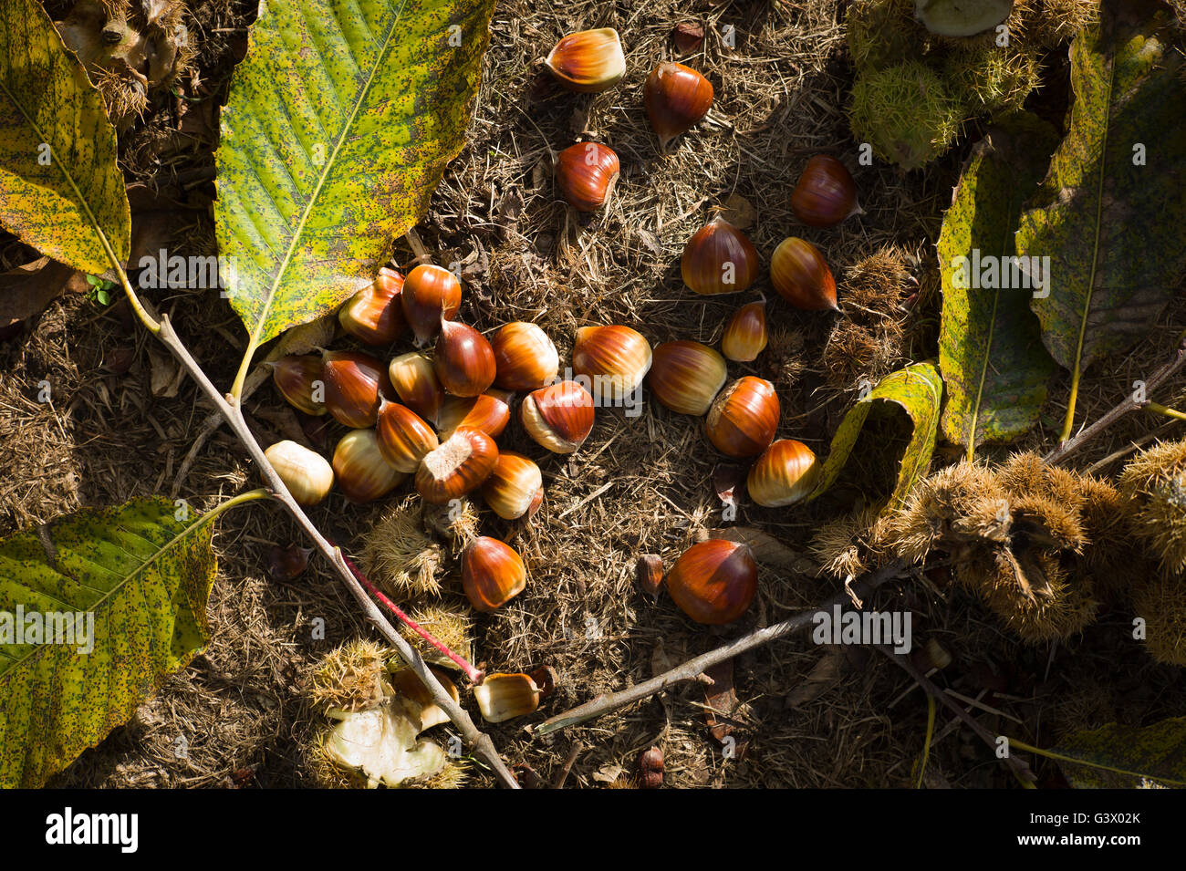 Fallen sweet chestnuts on the ground beneath the tree in autumn - Stock Image