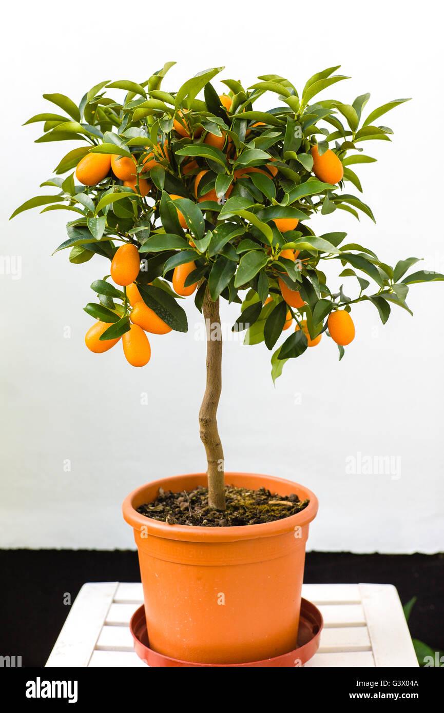 Small Kumquat Tree Bearing Edible Fruit In The Uk Stock Photo