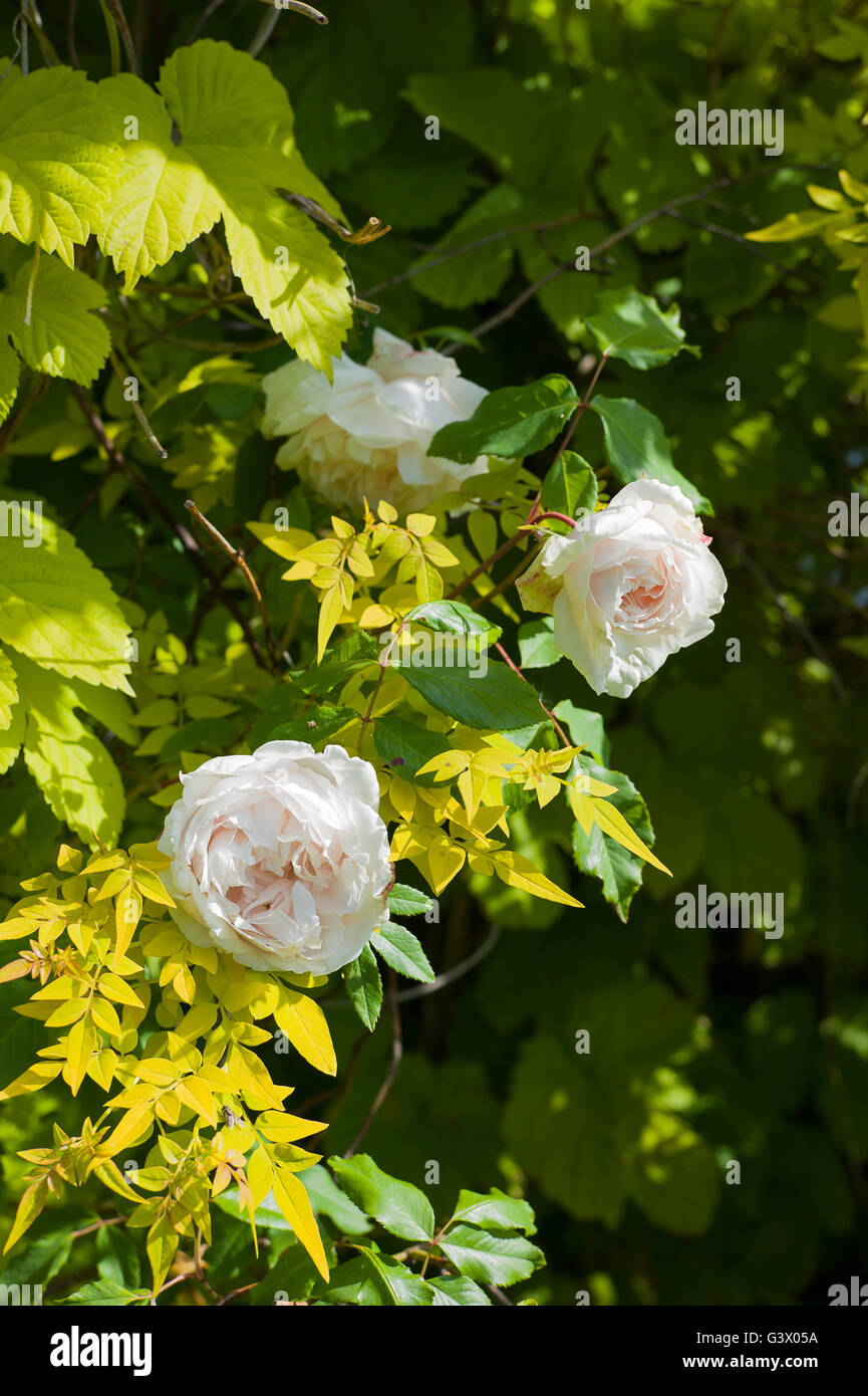 Rose Madame Alfred Carriere climbing with jasmine and golden hop - Stock Image