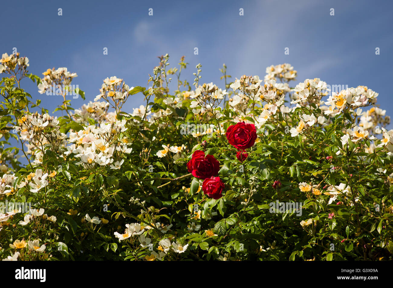 Red rose Danse de Feu appears amidst a mass of creamy white flowers or Rosa Wedding Day - Stock Image