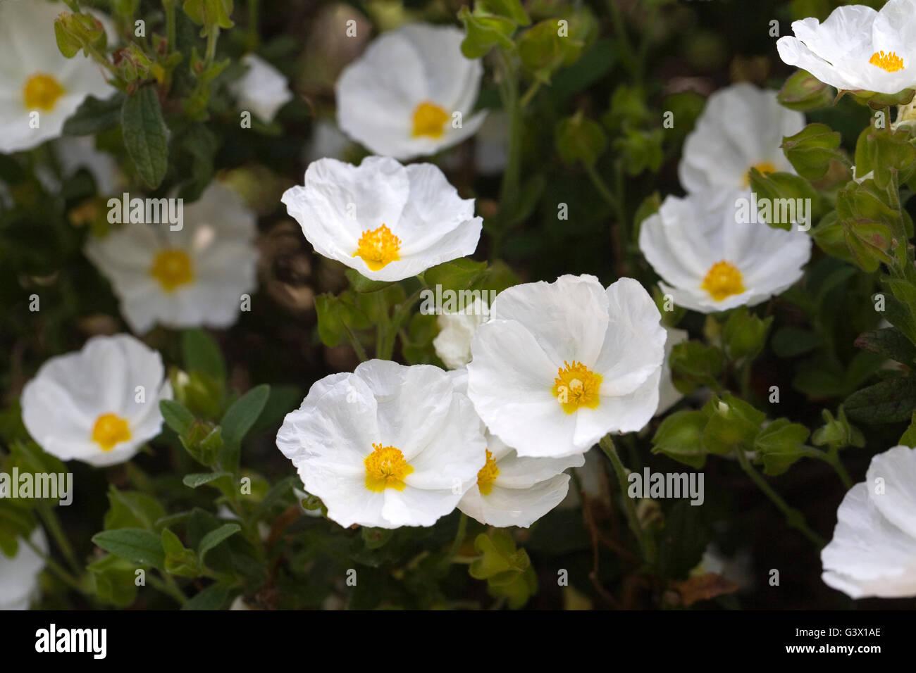 Cistus x obtusifolius 'Thrive'. Sun rockrose flowers. - Stock Image