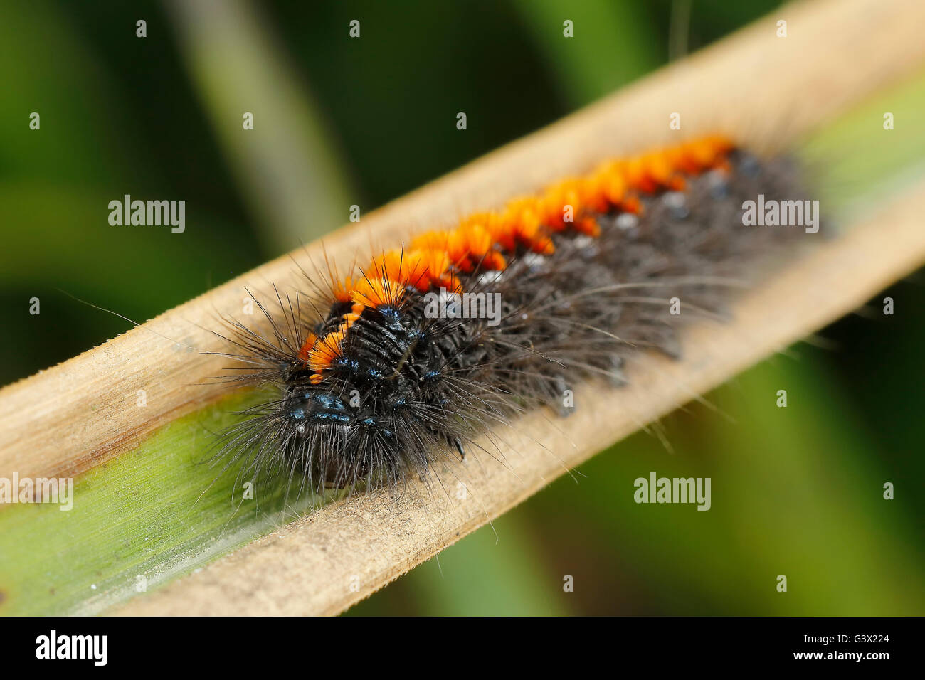 A spiny caterpillar resting at grass leaf - Stock Image