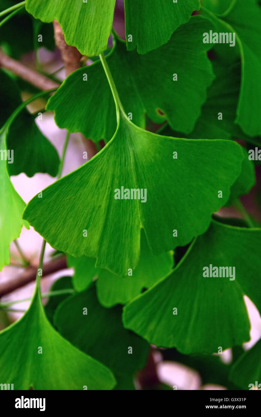 Leaf of the ginkgo. Ginkgo biloba tree, known as ginkgo or as the maidenhair tree, is the only living species in - Stock Image