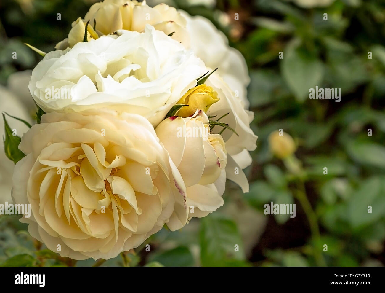 Pale yellow rose - Stock Image