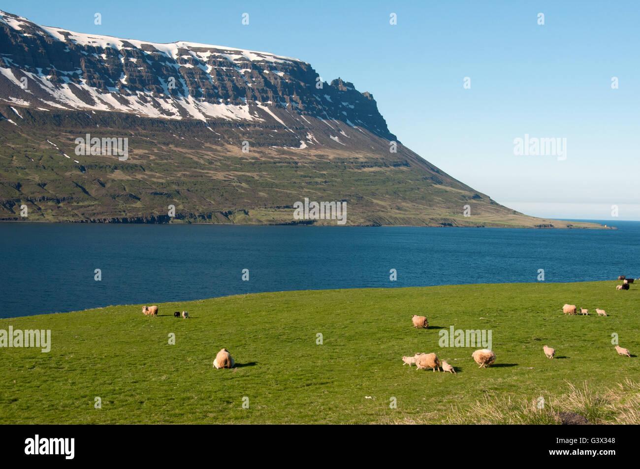 Sheep  Seydisfjordur Iceland - Stock Image