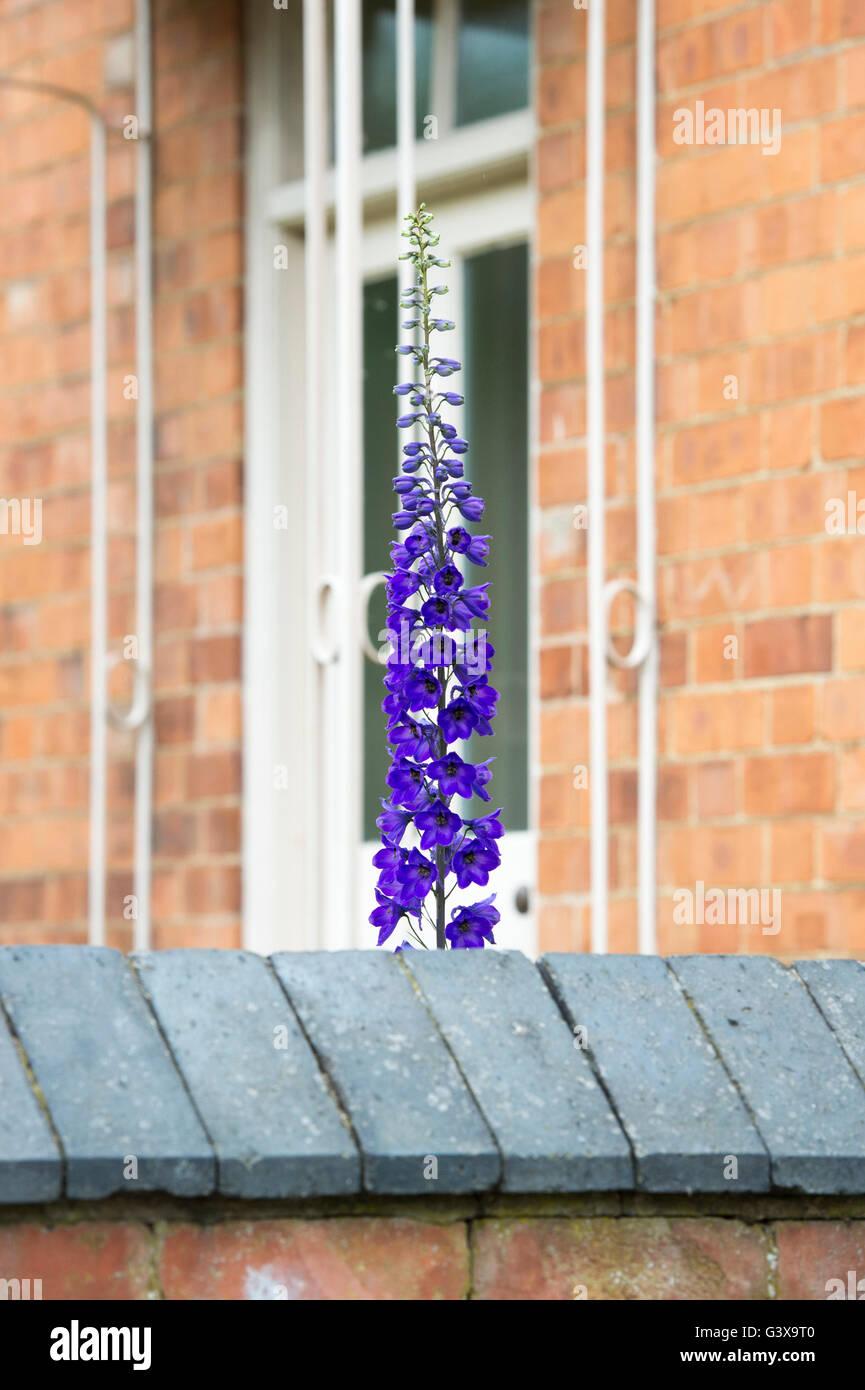 Delphinium 'Purple Velvet' flower outside a cottage window. Ashton Under Hill, Wychavon district, Worcestershire, Stock Photo