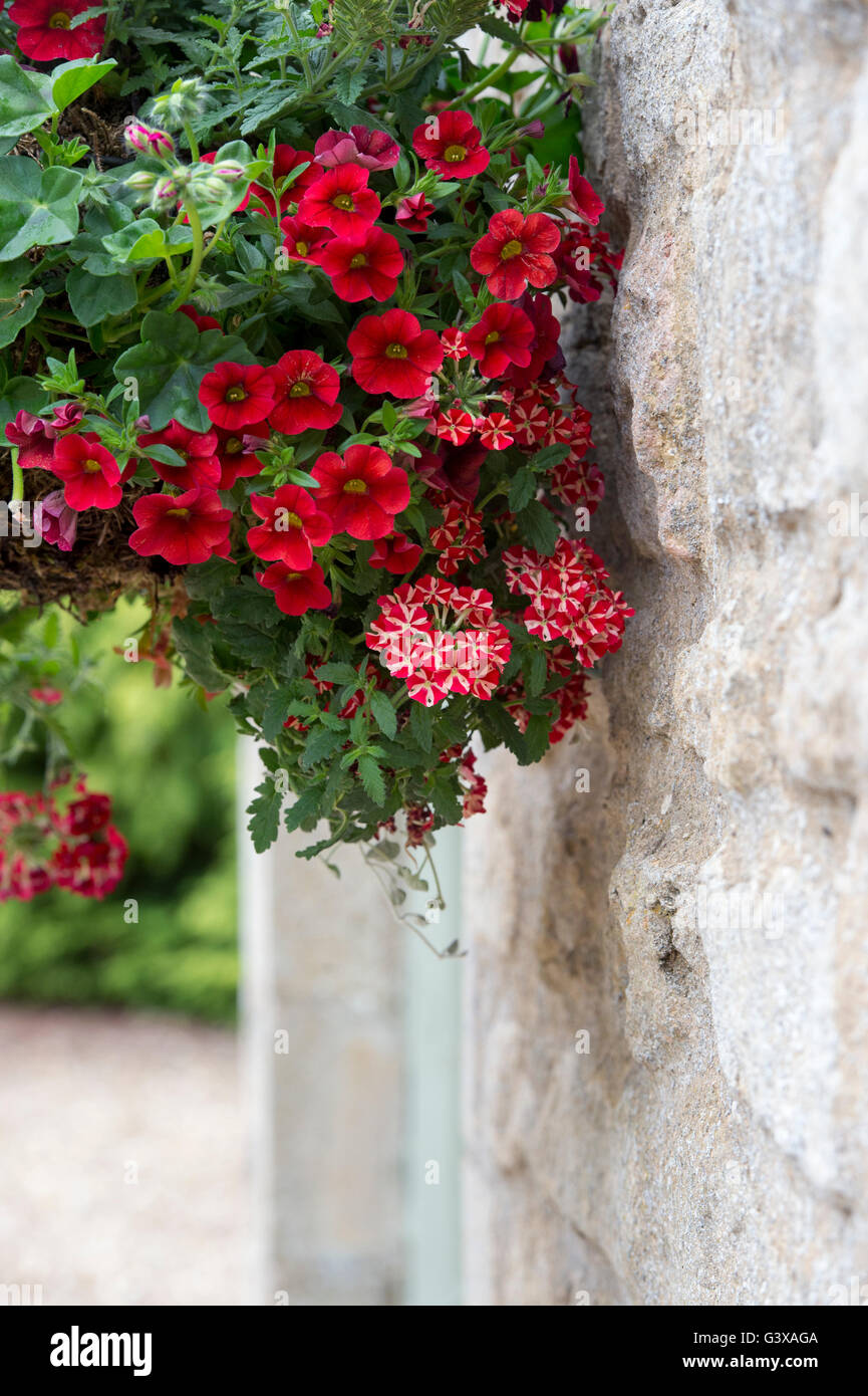 Verbena Voodoo Red Star and Petunia Surfinia flowers in a hanging basket. Ashton Under Hill, Worcestershire, England - Stock Image