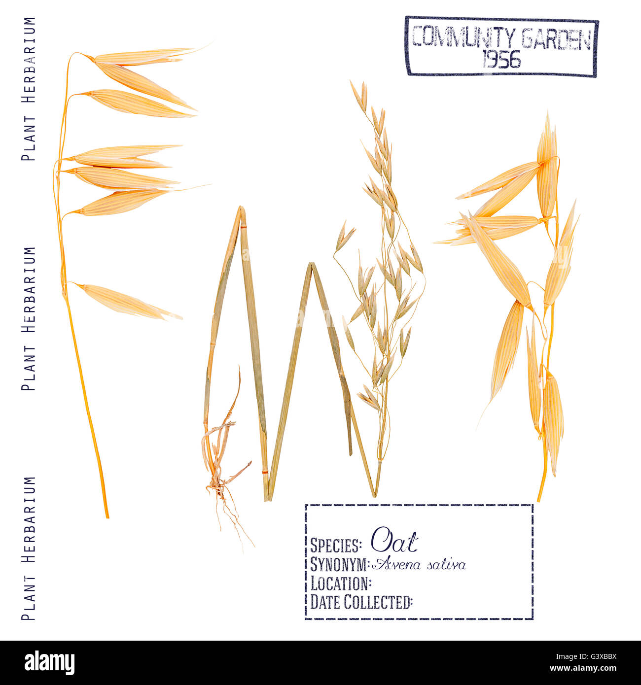Wheat plant parts diagram auto electrical wiring diagram pressed herbarium plant parts oat leaves stems roots ear and rh alamy com diagram of how wheat is produced diagram of how wheat is produced ccuart Image collections
