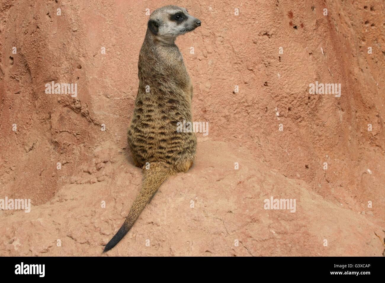 Meerkat stood staring - Stock Image