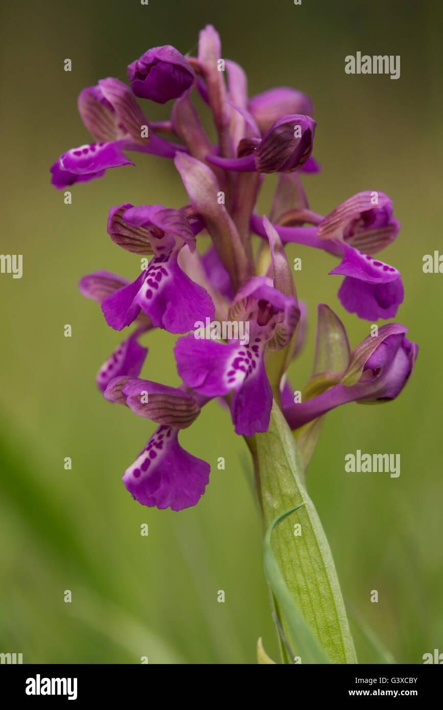green-winged orchid - Stock Image