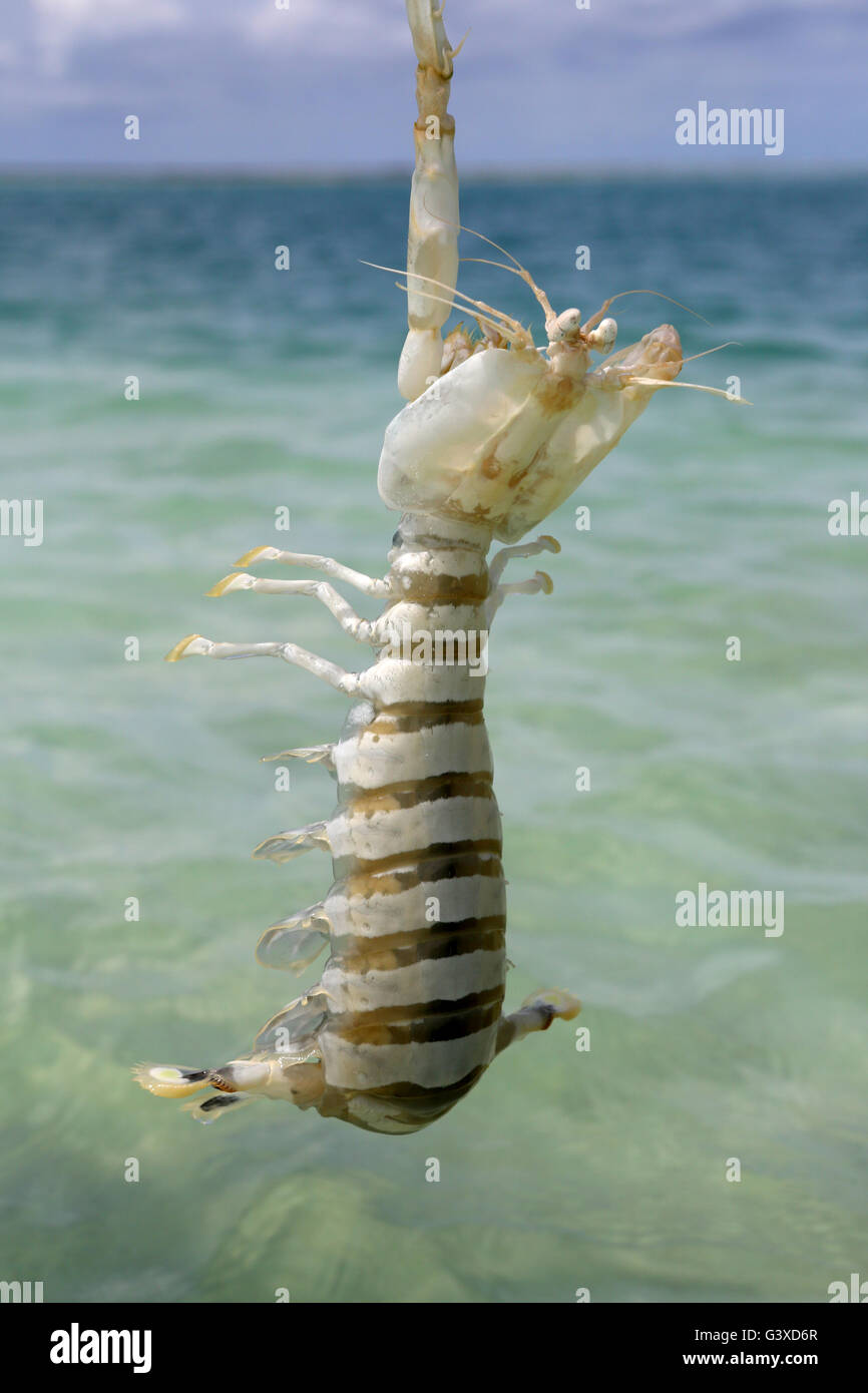 Huge Mantis shrimp, Christmas Island, Kiribati Stock Photo ...