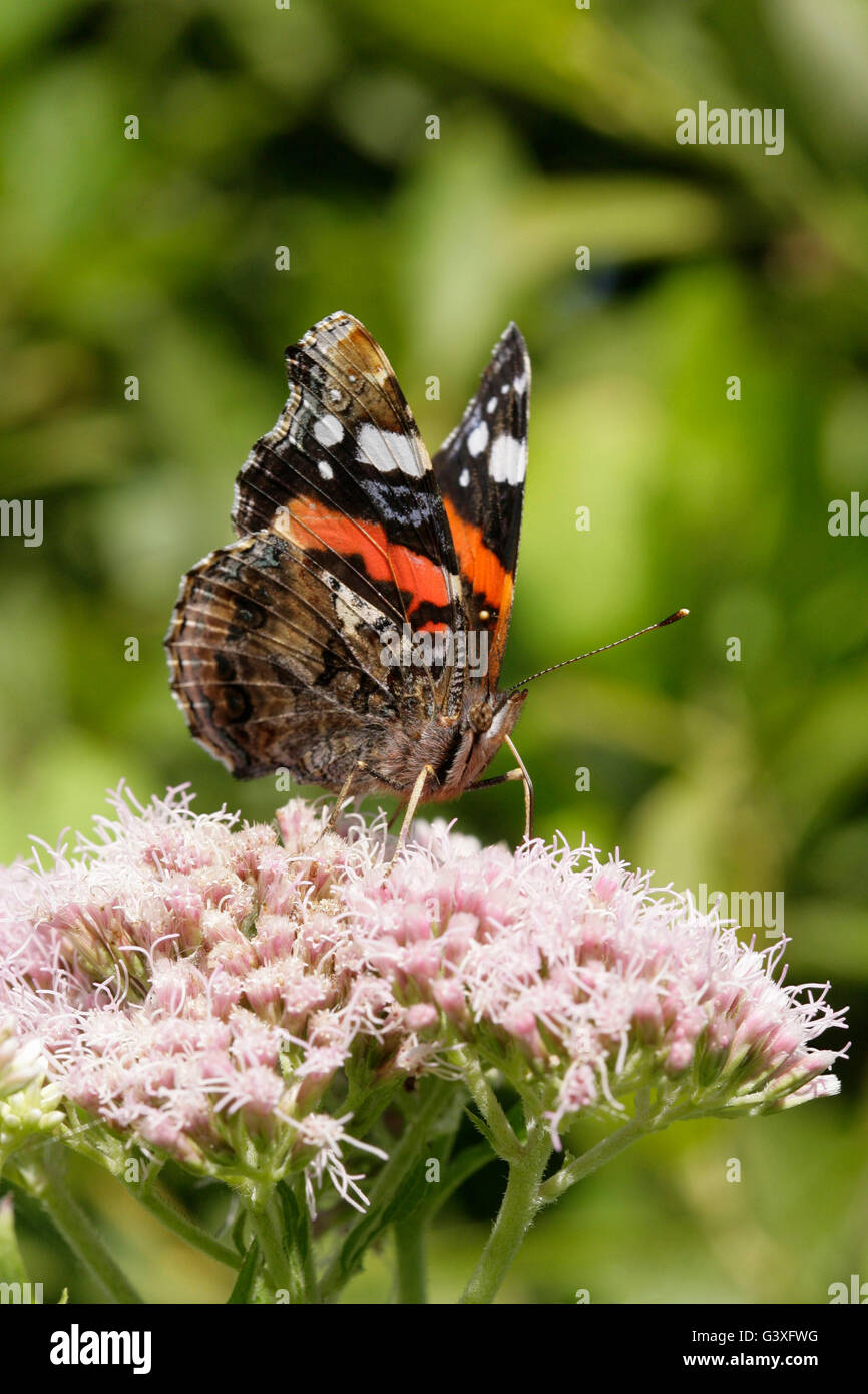Red Admiral, Vanessa atalanta, single adult  feeding on Hemp Agrimony. Taken August.  Minsmere, Suffolk, UK. - Stock Image