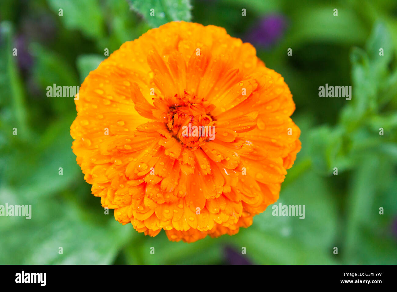 Orange Calendula Stock Photo