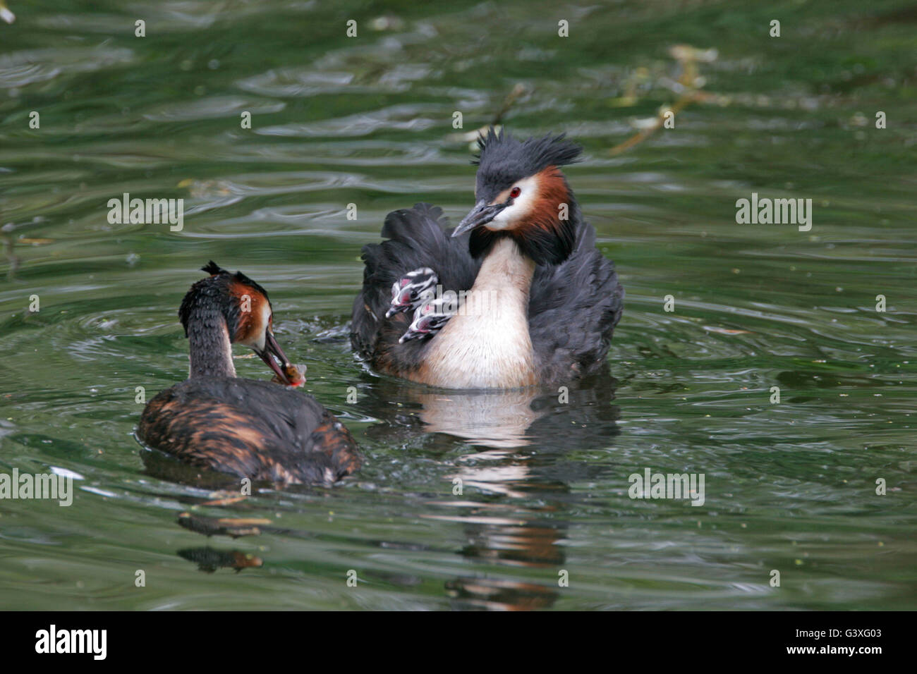 Great-crested Grebe, Podiceps cristatus, female bringing fish to young on back of male. Taken May. Lea Valley, Essex, - Stock Image