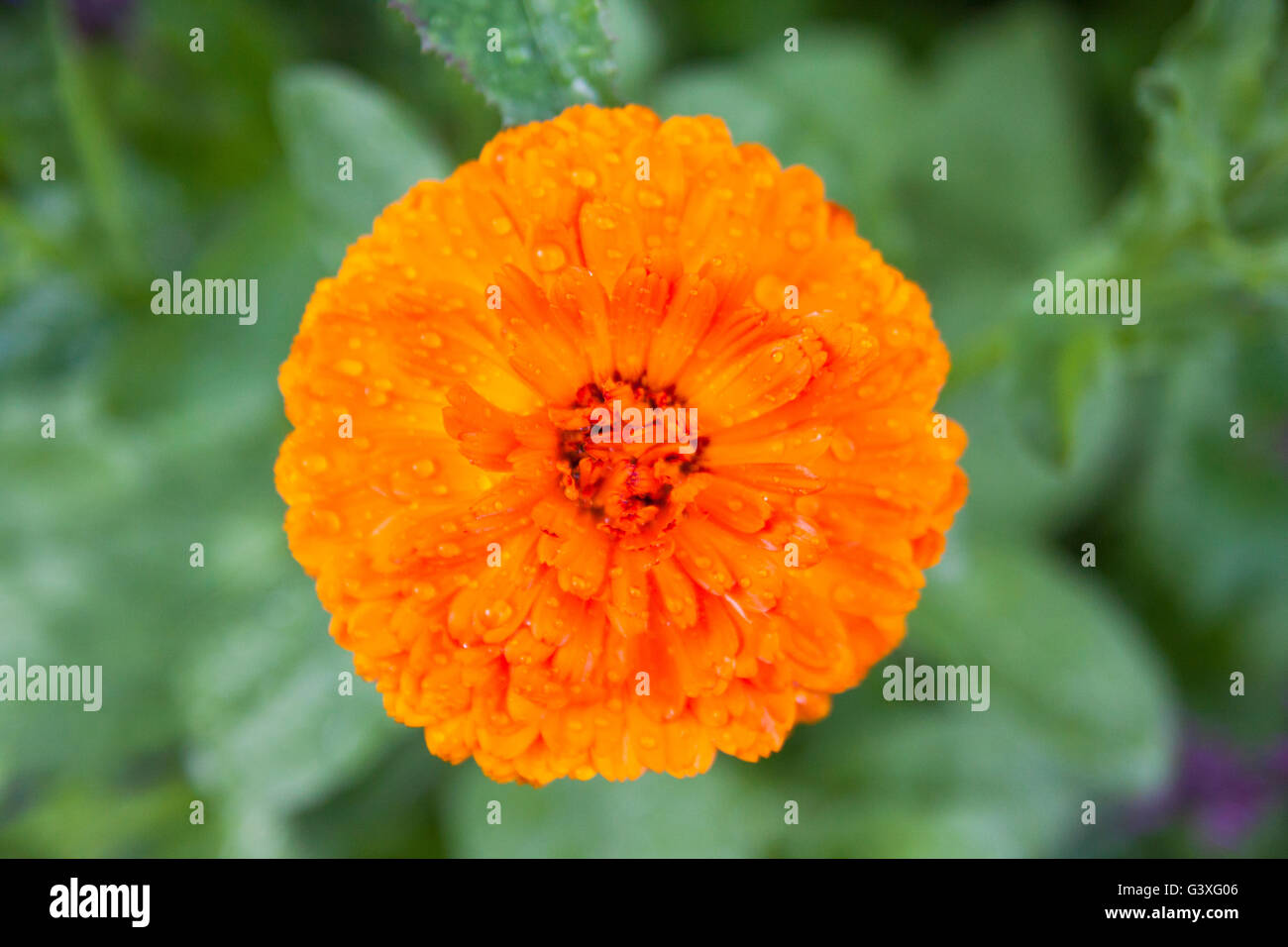 Marigold orange Stock Photo