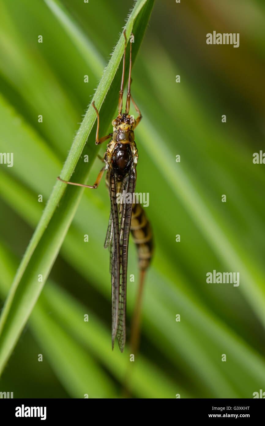 Drake Mackerel Mayfly (Ephemera vulgata) clinging to grass stem - Stock Image