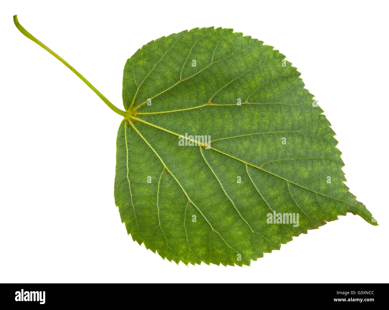 back side of green leaf of Tilia cordata tree (small-leaved lime, little leaf linden, small-leaved linden) isolated Stock Photo