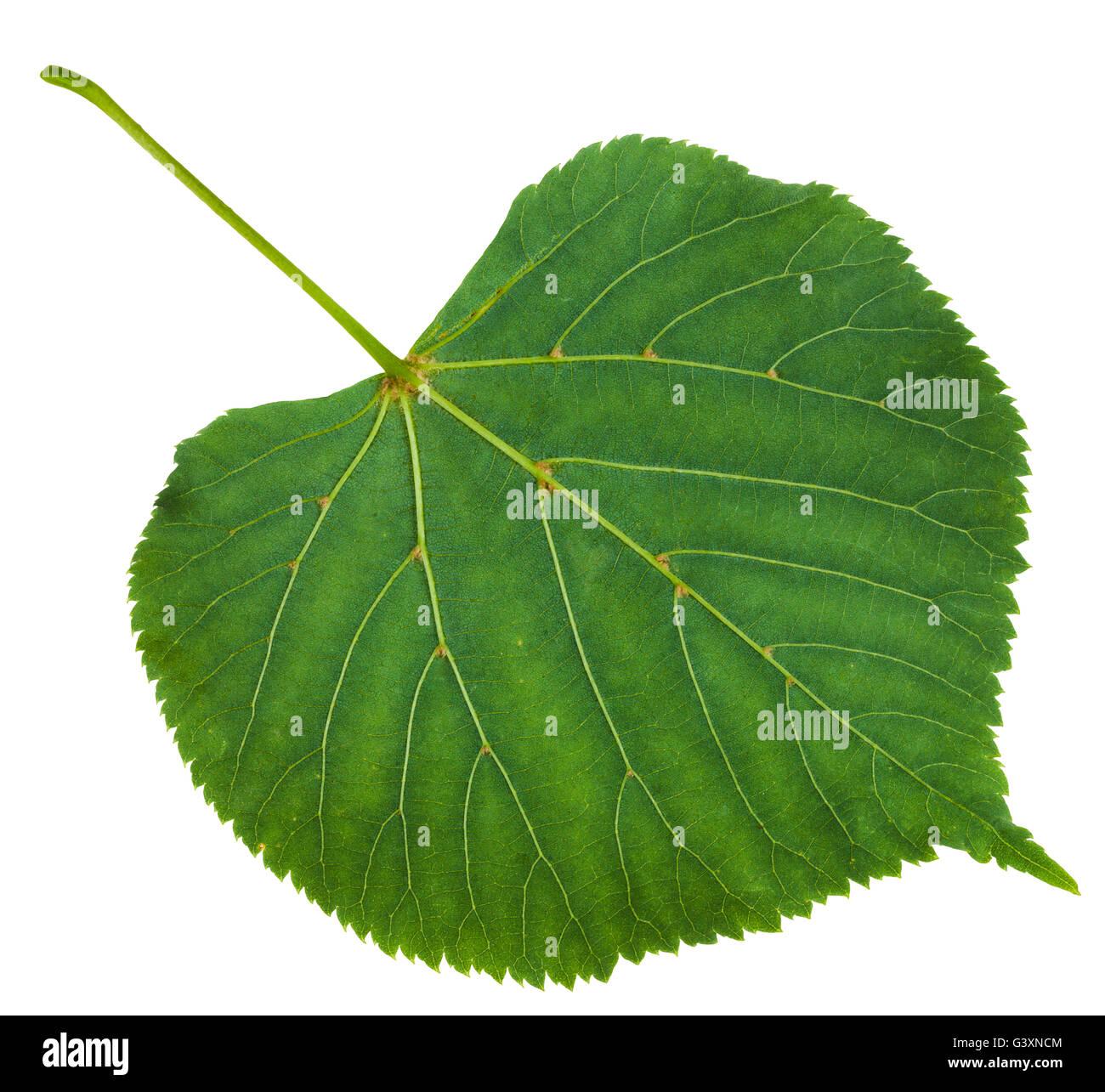 back side of green leaf of Tilia platyphyllos tree ( largeleaf linden, , large-leaved lime) isolated on white background Stock Photo