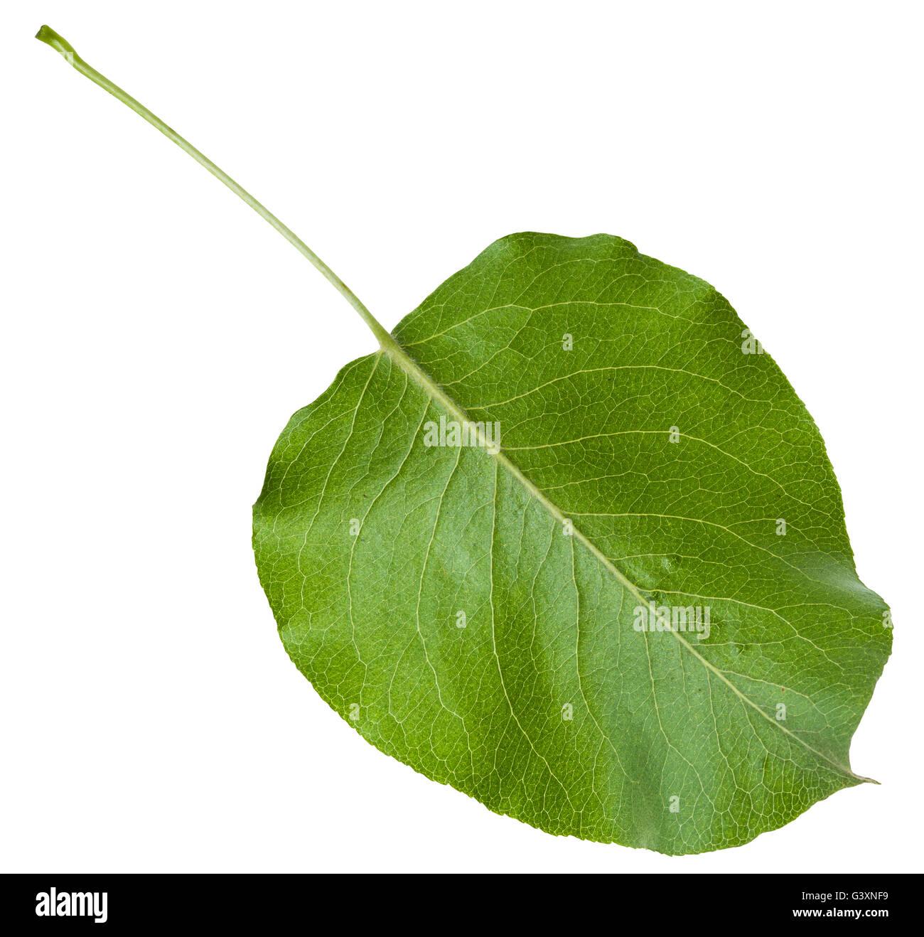 back side of green leaf of Malus tree (crabapple, crab apple, crabs ...