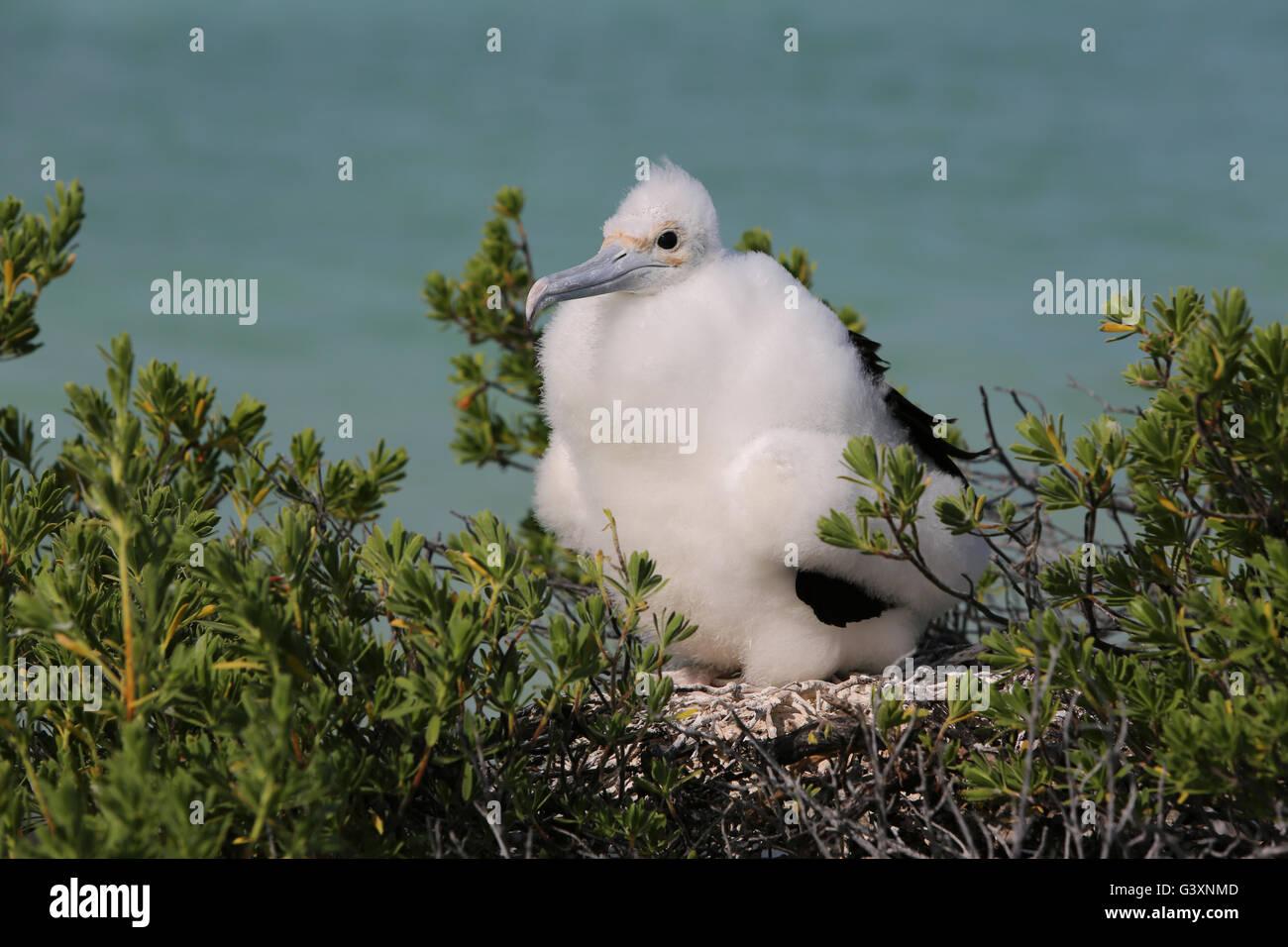 Frigatebird chick in the nest, Christmas Island, Kiribati - Stock Image