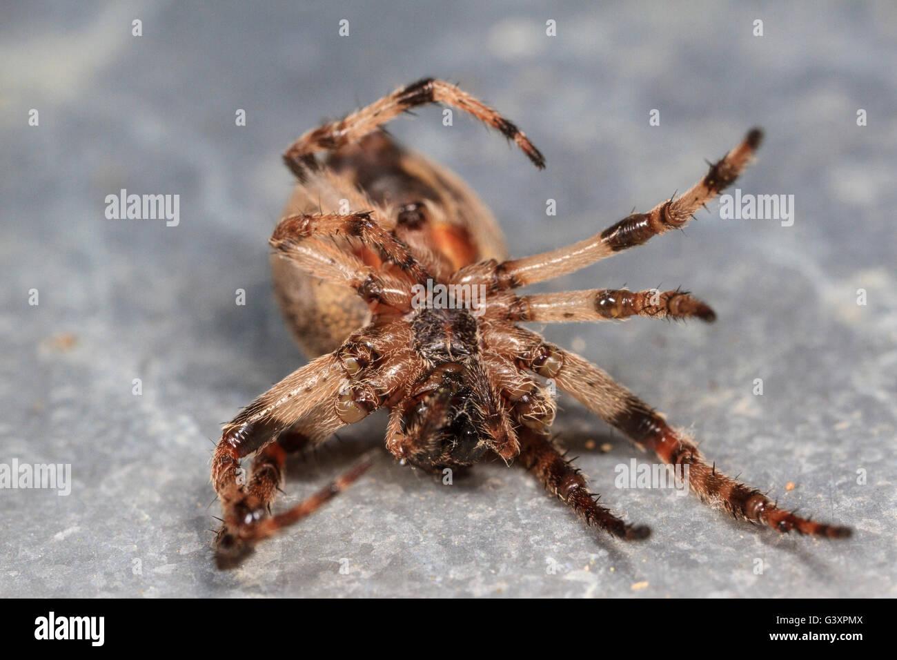 Dead orbweaver spider. Stock Photo