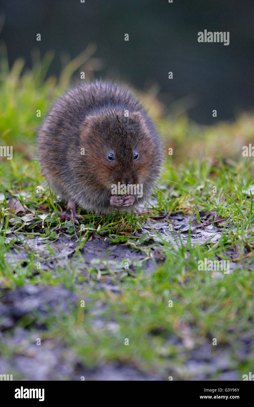 Water Vole, Arvicola terrestris, single adult feeding on river bank. Taken February. West Sussex, UK. - Stock Image