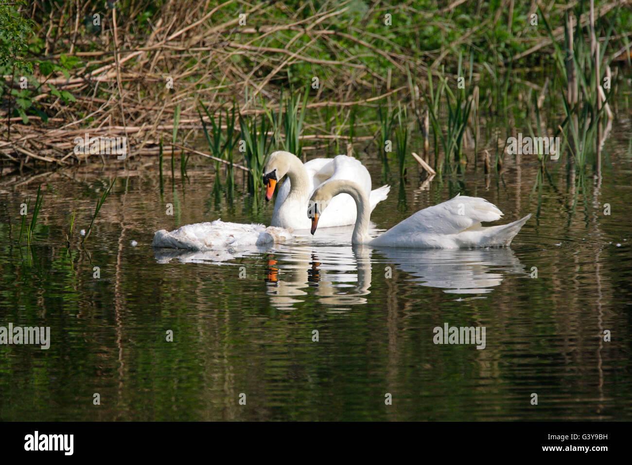 Mute Swan, Cygnus olor, adult pair looking at dead swan in river. Taken May. Lea Valley, Essex, UK. - Stock Image