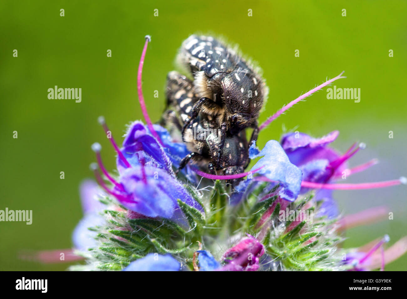 Oxythyrea funesta White-spotted Rose Beetle mating on a Echium vulgare - Stock Image