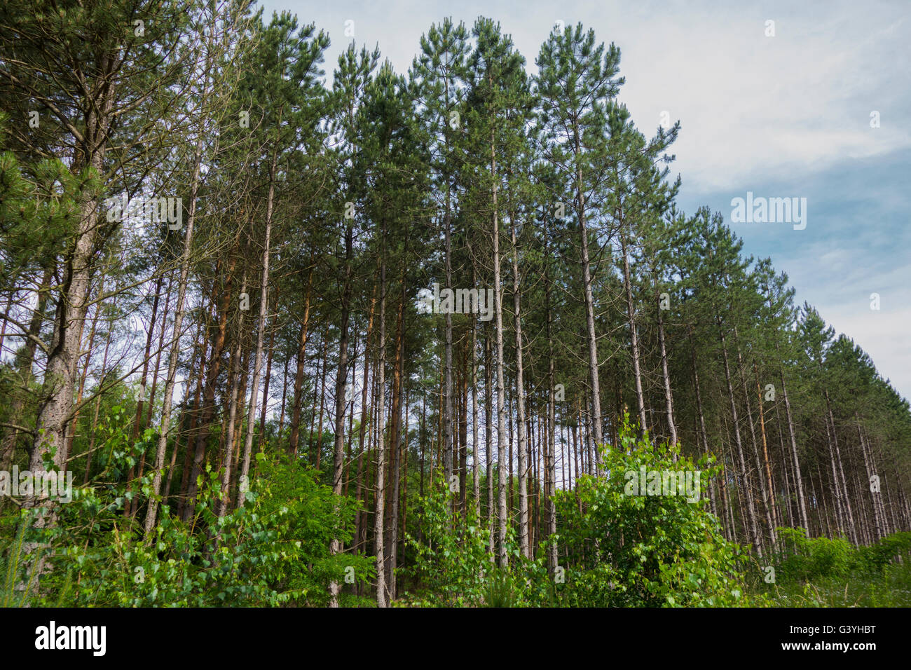 Common spruce, Picea abies, forest in Germany. Stock Photo