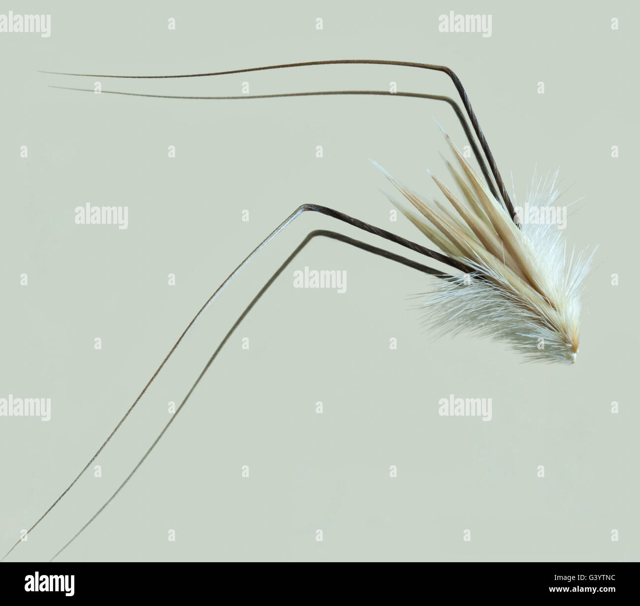 Avena fatua Stock Photo