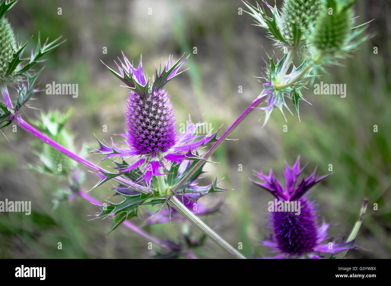 A wild Eryngo blossom (looks like a thistle, but more closely related to carrots and parsnips) Stock Photo