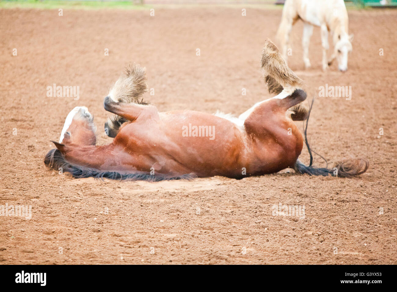 A big draft horse rolling in the rodeo ring - Stock Image