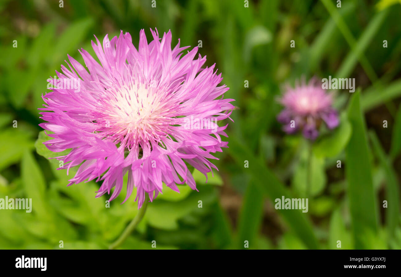 Beautiful flower of the dahlia grows on background green sheet - Stock Image