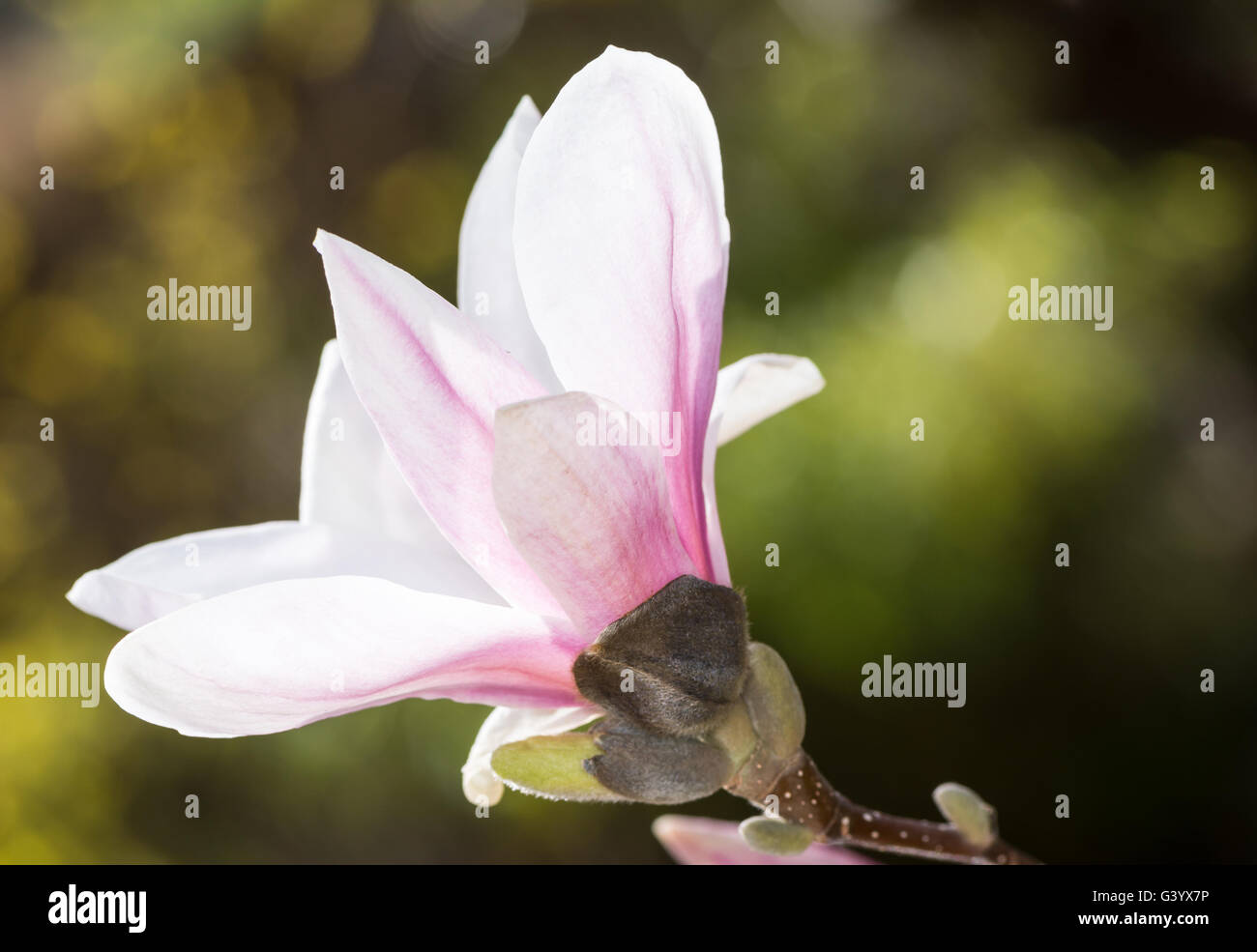 Twig of a flowering magnolia tree with white blossom - Stock Image