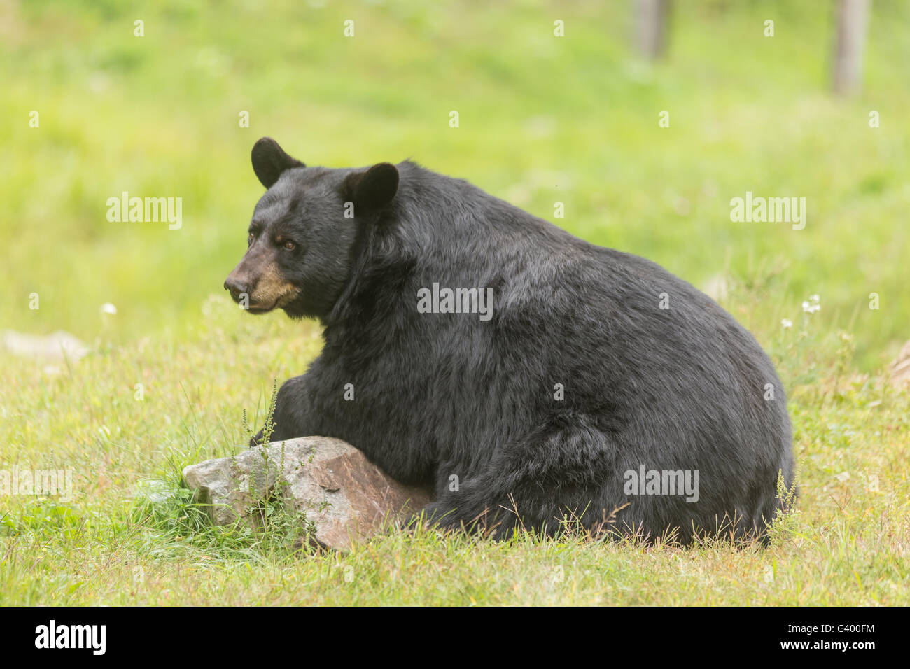 Large black bear in the summer Stock Photo
