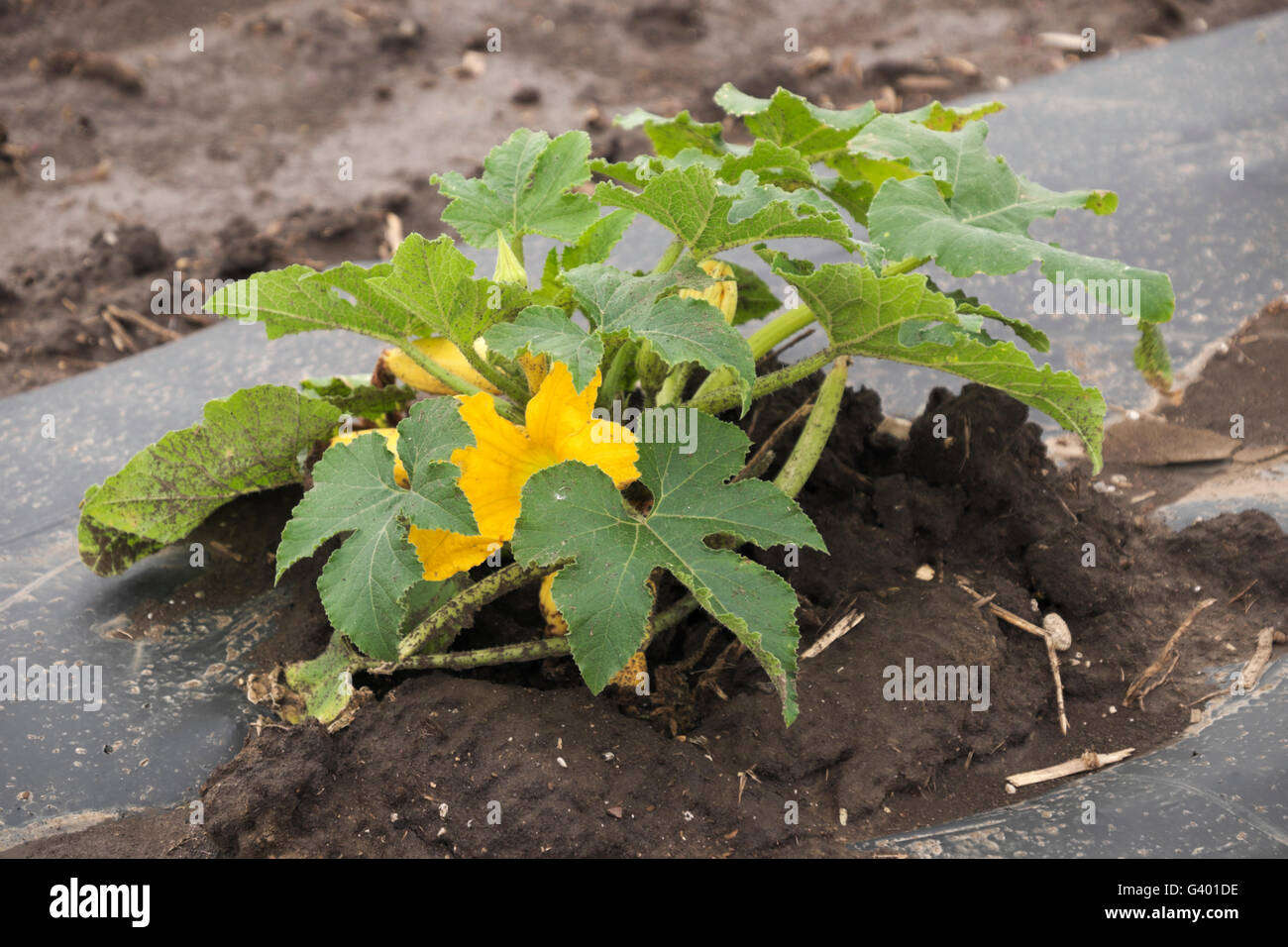 Summer squash growing under plastic sheets on a northern Illinois farm. - Stock Image
