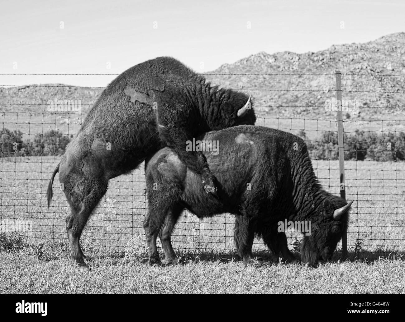 Buffalo's mating in the Oklahoma plains in springtime. Stock Photo