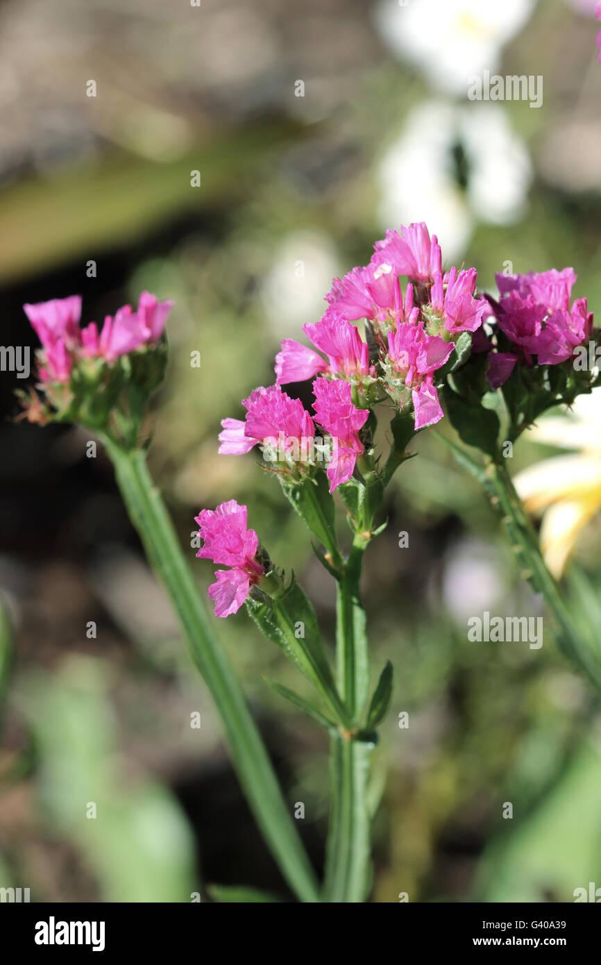 Statice Flowers Or Also Known As Limonium Sinuatum Sea Lavender