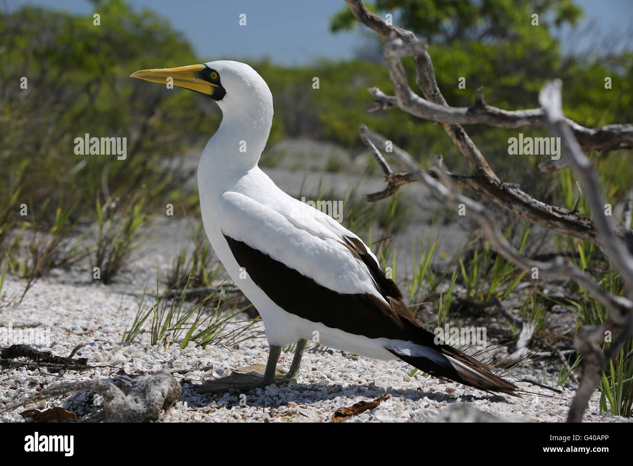 Masked booby bird, Christmas Island, Kiribati - Stock Image