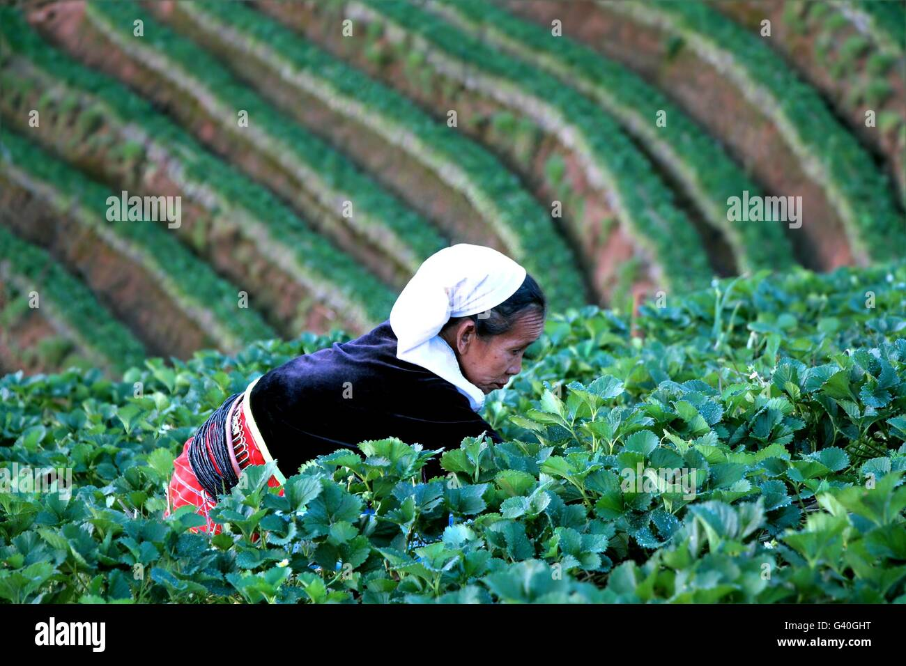 Chiang Mai, Thailand - Feb 17, 2015 : Old woman working in strawberry field at baan nolae, Royal Agricultural Station - Stock Image