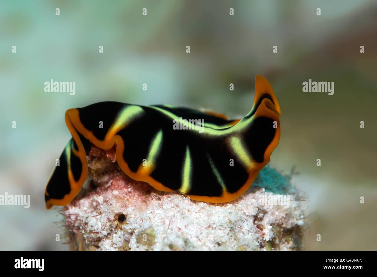Divided flatworm (Pseudoceros cf dimidiatus), Wakatobi Island, Tukang Besi Archipelago, Wakatobi National Park - Stock Image