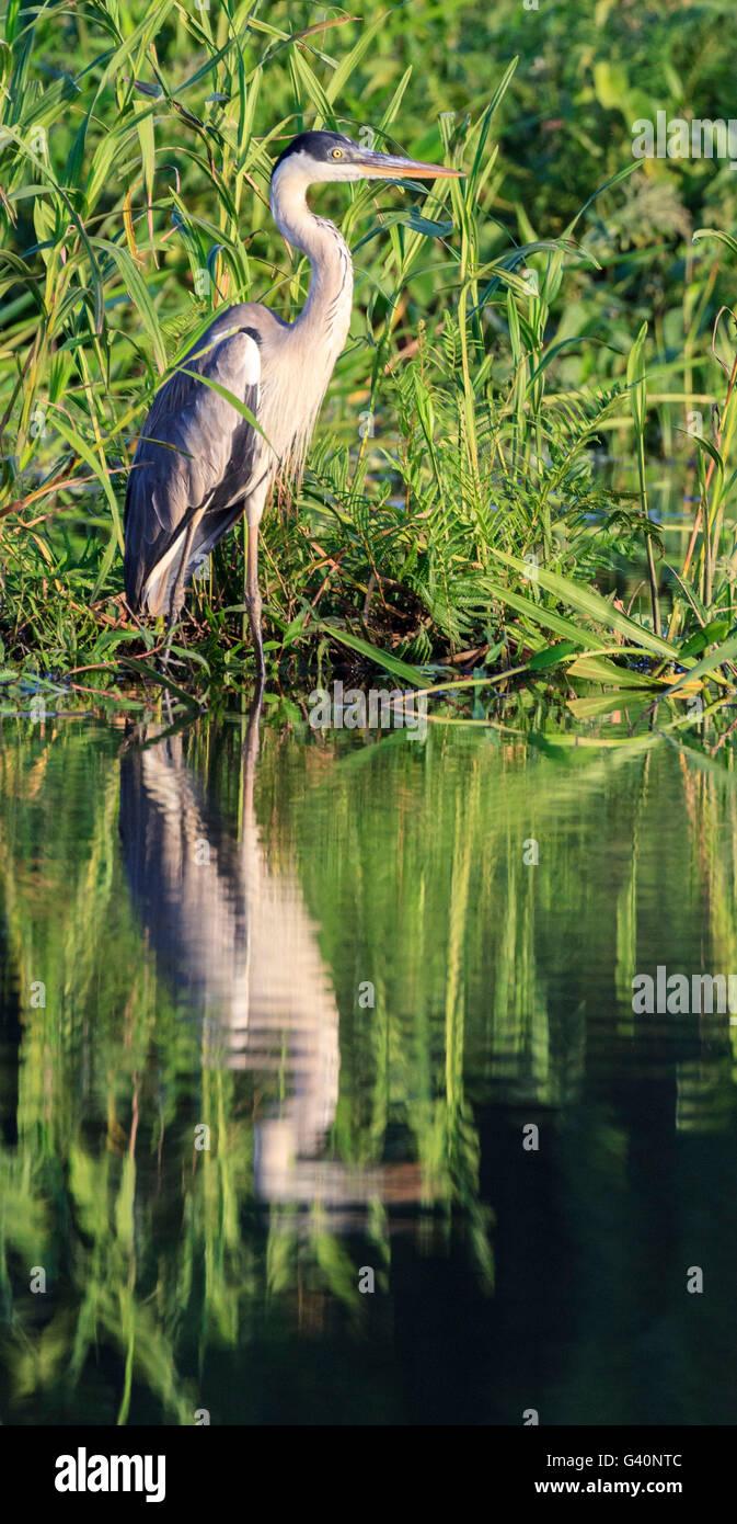 Cocoi Heron, Manu National Park, Peru - Stock Image
